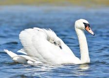 Vit svan med två gulliga fågelungar som tillbaka rider på henne Royaltyfria Foton