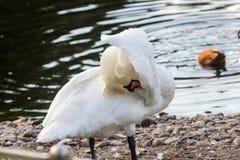 Vit svan nära sjön Royaltyfria Bilder