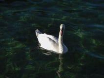Vit svan på Annency sjön Arkivbild