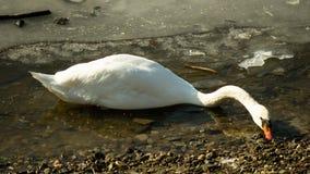 Vit svan på den djupfrysta sjön som söker mat Arkivfoto