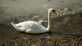 Vit svan på djupfryst sjö II Royaltyfria Bilder