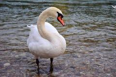 Vit svan på en flod Fotografering för Bildbyråer