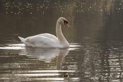 Vit svan på en solig morgon royaltyfria foton