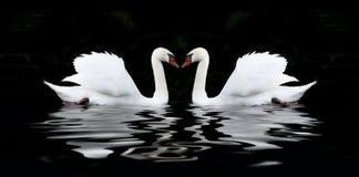 vit svan på en svart bakgrund royaltyfri bild