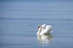 Vit svan på havet royaltyfria foton