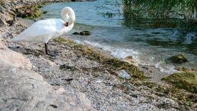 Vit svan på kusten på sjögardaen, royaltyfri fotografi