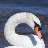 Vit svan på Lagoen Maggiore Royaltyfri Foto