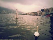Vit svan på Lugano sjön Schweiz fotografering för bildbyråer