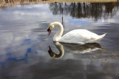 Vit svan på sjön, blickar på hans reflexion i vattnet Arkivbild