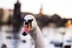 Vit svan på sjön i ljus arkivbilder