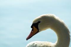 Vit svan på sjön, svanhuvud Arkivbilder