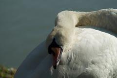 Vit svan på sjön, svanhuvud Arkivfoto