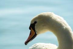 Vit svan på sjön, svanhuvud Arkivfoton