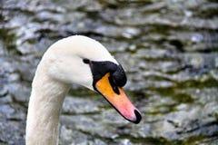 Vit svan på skogsjön Royaltyfri Foto
