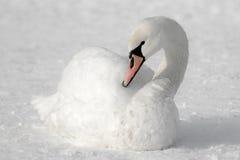 Vit svan på snö Arkivbilder