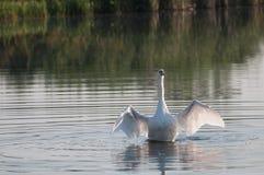 Vit svan som ansar sig fotografering för bildbyråer