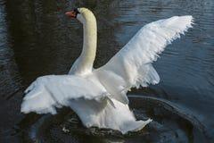 Vit svan som försöker att flyga Royaltyfria Foton