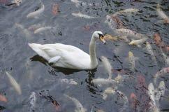 Vit svan som omges av Koi Fish Arkivfoto