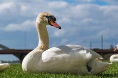 Vit svan som omkring ser på det gröna gräset av flodstranden Royaltyfria Bilder