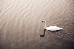 Vit svan som svävar på sjön Arkivfoto