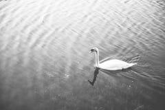 Vit svan som svävar på sjön Fotografering för Bildbyråer