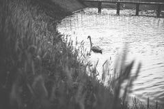 Vit svan som svävar på sjön Royaltyfria Foton