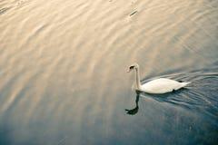 Vit svan som svävar på sjön Arkivfoton