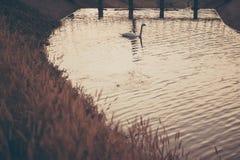 Vit svan som svävar på sjön Arkivbild