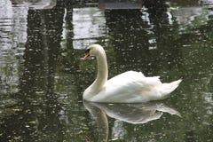 Vit svan som svävar på vatten Fotografering för Bildbyråer