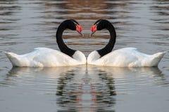Vit svan som Svart-hånglas på vattnet Fotografering för Bildbyråer