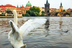 Vit svan som tar av från vatten på gammal stad för för Vltava flod, torn, Charles Bridge och Prague i bakgrund, Tjeckien Arkivfoto