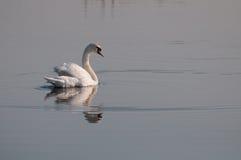 Vit svan som tillbaka ser på sjöns yttersida royaltyfri fotografi