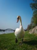 Vit svan som wailking till mig Royaltyfri Foto