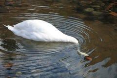 Vit svandykning in i sjön och sökande för mat Royaltyfria Bilder
