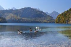 Vit svanfamilj på den alpina sjön Arkivbild