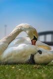 Vit svanlokalvård och koppla av på det gröna gräset Royaltyfria Foton