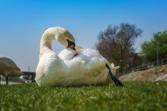 Vit svanlokalvård och koppla av på det gröna gräset Royaltyfri Bild