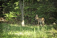 Vit svans Fawn In Backyard Fayetteville Arkansas arkivbild