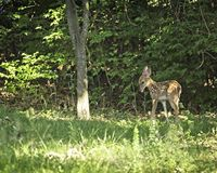 Vit svans Fawn In Backyard Fayetteville Arkansas royaltyfria bilder