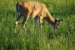 Vit-svans hjortar - Montana Royaltyfri Bild