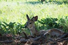 Vit-svans hjortar - Montana Fotografering för Bildbyråer