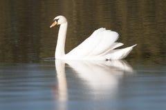 Vit Swan royaltyfri fotografi