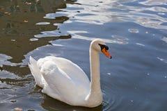 Vit swan Arkivbild