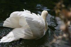 Vit swan Royaltyfria Foton