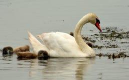 Vit swan royaltyfri bild