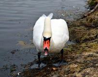 Vit swan Royaltyfri Foto