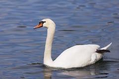 Vit swan Royaltyfria Bilder