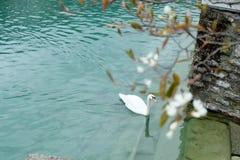 Vit swan Arkivfoton