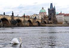 Vit swan i Prague Fotografering för Bildbyråer