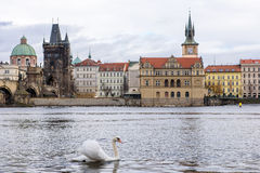 Vit swan i Prague Royaltyfri Bild